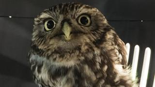 Rescued owl was