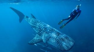 Whale sharks: Atomic tests solve age puzzle of world