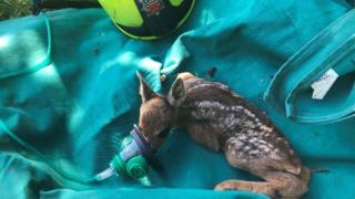 Orphaned deer kid saved from Hatfield Moors fire