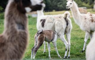 Coronavirus: Llamas provide key to immune therapy